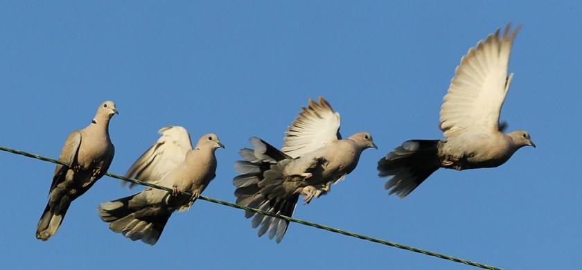 DF1_20100921_1802_052-055-Collared-Dove-taking-of-from-wires-horizontally-stretched-montage-1.jpg